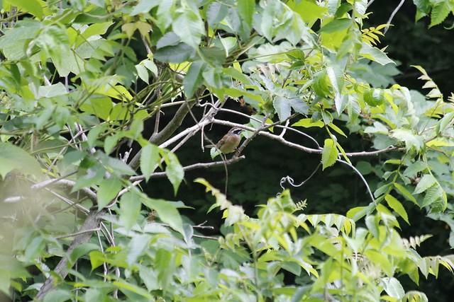 ホオジロが枝先に止まっていた.