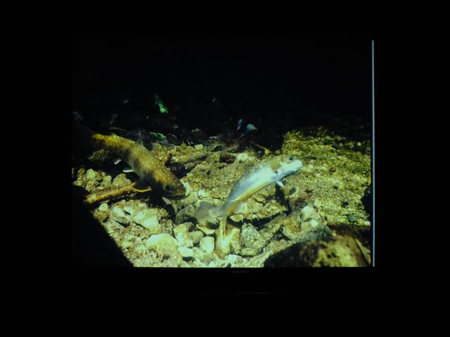 内藤先生が撮影されたビデオを見る.メスが産卵床を掘る姿が鮮明に映っていた.