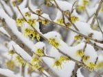 雪の中の春。(2020.2.17)