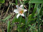 ササユリが咲き始めました(2016.6.15)