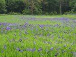 紫紺いろのじゅうたん。(2017.5.31)