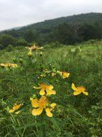 八幡高原に咲く花たち(2017.7.24)