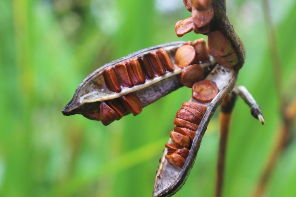 カキツバタ種
