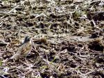 春の田と、ツグミとツグミの保護色と。(2020.4.16)