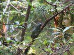 【イベント案内】モリアオガエルの繁殖を観察しよう