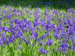 紫の絨毯(2018.5.28)