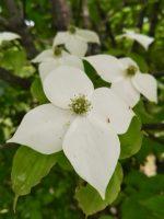 今の時期の白い花(2020.6.28)